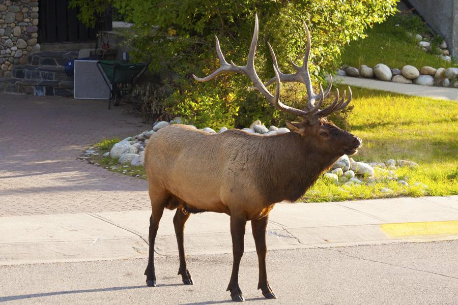 Roaming Elk